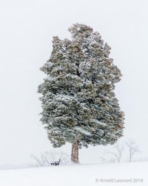 Snowstorm Cedar