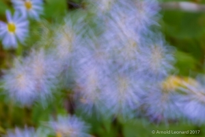 Blue Aster Motion Blur