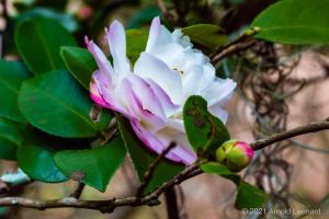 Purple and White Camellia