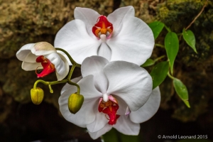 White Phalaenopsis Cluster