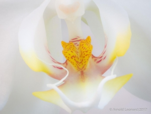 White Phalaenopsis Close Up