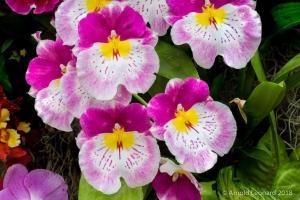 Lavender Miltonia