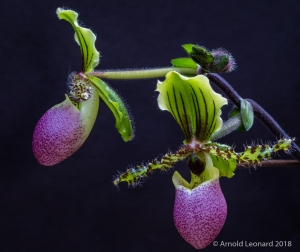 Purple and Green Paphiopedilum