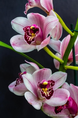 Pink and White Cymbidium