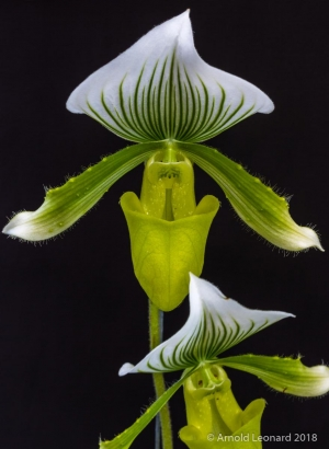 Green and White Paphiopedilum