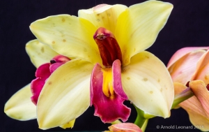Yellow and Red Cymbidium