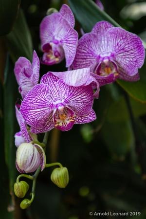 Purple Phalaenopsis Cluster