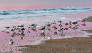 Sunrise Gulls