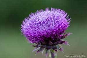ScotchThistle