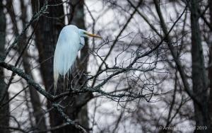 Roosting Egret
